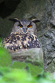 Eagle Owl (Bubo bubo) adult in a crevasse watching, Sud France