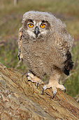 Eagle Owl (Bubo bubo) chick about 5 weeks old watching, Spain
