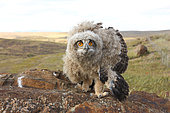 Eagle Owl (Bubo bubo) 5 week old chick in defensive posture in the evening, Spain