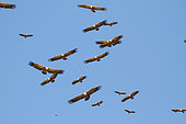Griffon Vulture (Gyps fulvus) group in flight against a blue sky near a mass grave, Spain