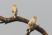 Egyptian Vulture (Neophron percnopterus) Adult pair perched in the morning watching, India