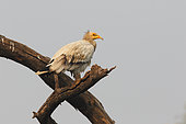 Egyptian Vulture (Neophron percnopterus) Adult perched in the morning watching, India