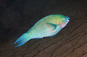 Palenose Parrotfish (Scarus psittacus), Jemeluk Bay dive site, Amed, Karangasem Regency, Bali, Indonesia, Indian Ocean