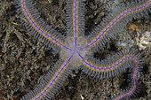 Martens' Brittle Star (Ophiothrix martensi), Seraya dive site, Seraya, Karangasem Regency, Bali, Indonesia, Indian Ocean