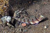 Blotchy Shrimpgoby (Amblyeleotris periophthalma) with White Saddle Snapping Shrimp (Alpheus sp), Seraya dive site, Seraya, Karangasem Regency, Bali, Indonesia, Indian Ocean