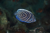 Juvenile Emperor Angelfish (Pomacanthus imperator), Ghost Bay dive site, Amed, Karangasem Regency, Bali, Indonesia, Indian Ocean
