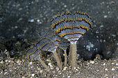 Feathery Duster Worms (Sabellastarte sp), Ghost Bay dive site, Amed, Karangasem Regency, Bali, Indonesia, Indian Ocean