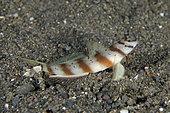 Slantbar Shrimpgoby (Amblyeleotris diagonalis), Ghost Bay dive site, Amed, Karangasem Regency, Bali, Indonesia, Indian Ocean