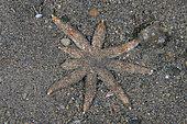 Speckled Sea Star (Luidia savignyi), night dive, Melasti dive site, Amed, Karangasem Regency, Bali, Indonesia, Indian Ocean