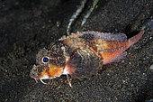 Blue-eyed Stingfish (Minous trachycephalus), night dive, Melasti dive site, Amed, Karangasem Regency, Bali, Indonesia, Indian Ocean