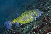 Yellow Boxfish (Ostracion cubicus), Sedam dive site, Tulamben, Karangasem Regency, Bali, Indonesia, Indian Ocean