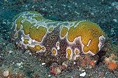 Leopard Sea Cucumber (Bohadschia argus), Sedam dive site, Tulamben, Karangasem Regency, Bali, Indonesia, Indian Ocean