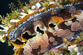 Variable Thorny Oyster (Spondylus varians), Liberty Wreck dive site, Tulamben, Karangasem Regency, Bali, Indonesia, Indian Ocean