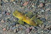 Variable Shrimpgoby (Cryptocentrus fasciatus) in hole, Ghost Bay dive site, Amed, Karangasem Regency, Bali, Indonesia, Indian Ocean