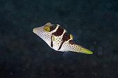 Black-saddled Toby (Canthigaster valentini), Uyah Hotel dive site, Amed, Karangasem Regency, Bali, Indonesia, Indian Ocean