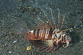 Bluefin Lionfish (Parapterois heterura), Melasti dive site, Amed, Karangasem Regency, Bali, Indonesia, Indian Ocean