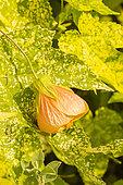 Abutilon pictum 'Thompsonii'