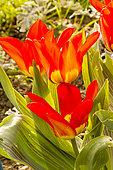 Tulipa fosteriana 'Madame Lefeber'