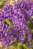 Hyacinthus orientalis 'Peter Stuyvesant'