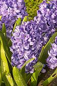 Hyacinthus orientalis 'Skyline'