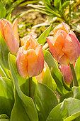Tulipa simple hâtive 'Salmon Prince'