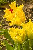 Tulipa dentelée 'Hamilton'
