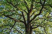 Mountain maple, Acer pseudoplatanus, Switzerland, Europe