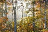 Beech forest in autumn, Switzerland, Europe