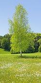 Single birch in flower field in sunshine in spring, Maur in the canton of Zurich, Switzerland, Europe