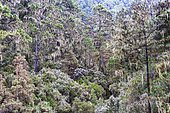 Cloud forest with hanging lichens, Barranco Madre del Agua, Orotava Valley, Tenerife, Canary Islands, Spain, Europe
