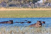 Common hippopotamus or hippo (Hippopotamus amphibius) showing aggression. Okavango Delta. Botswana