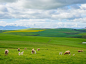 Beautiful rolling hills of canola flowers and farmlands in spring. Sheep graze in the fields with the Klipheuwel Wind Farm in the background. Near Caledon, Overberg, Western Cape, South Africa.