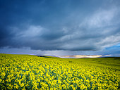 Beautiful rolling hills of Canola flowers and farmlands in spring. Near Caledon, Overberg, Western Cape, South Africa.