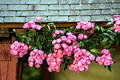'Dentelle de Bruxelles' climbing rose in the Moulin de la Lande garden, Brittany, France
