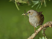 Dunnock (Prunella modularis) returning to the nest with prey for feeding, France