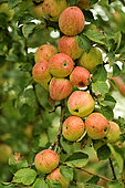 Old variety of apples in Brittany, Conservatory orchard of Illifaut, Côtes d'Armor, France