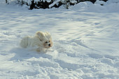 Tulear cotton in the snow, France