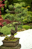Bonsai of Scots pine (Pinus sylvestris). Age between 80 and 100 years. Garden of the Moulin de la Lande, Brittany