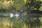 Great cormorant (Phalacrocorax carbo) taking off, Alsace, France.