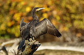 Great cormorant (Phalacrocorax carbo) with opened wings, Automn, Alsace, France.