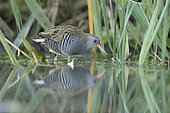 Water rail (Rallus aquaticus) in the reed-bed, Alsace, France.