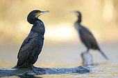 Great cormorants (Phalacrocorax carbo) resting on a dead tree above the river, Alsace, France.