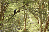 Fish eagle (Haliaeetus vocifer) on a branch, Lake Nakuru, Kenya