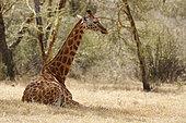 Rothschild's giraffe (Giraffa camelopardalis rothschildi) resting, Lake Nakuru Kenya
