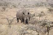 White Rhino (Ceratotherium simum) in the savanna, National Park Nairobi, Kenya.