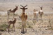 Coke's hartebeests (Alcelaphus buselaphus cokii) with calf, National Park Nairobi, Kenya