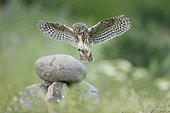 Little Owl (Athene noctua) in flight, bulgaria