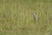 European ground squirrel (Spermophilus citellus) in grass, Bulgaria