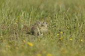 European ground squirrel (Spermophilus citellus) playing in grass, Bulgaria