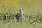 European ground squirrel (Spermophilus citellus) standing in grass, Bulgaria